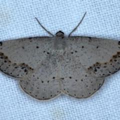 Taxeotis intextata (Looper Moth, Grey Taxeotis) at Goorooyarroo - 6 Nov 2020 by jbromilow50