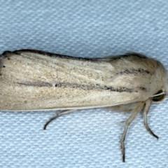 Leucania diatrecta (A Noctuid moth) at Goorooyarroo - 6 Nov 2020 by jbromilow50