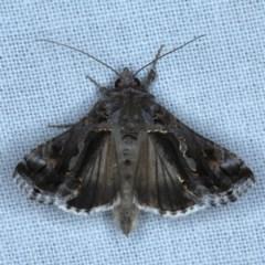 Chrysodeixis argentifera (Tobacco looper) at Goorooyarroo - 6 Nov 2020 by jbromilow50
