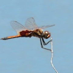 Tramea loewii (Common Glider) at Jerrabomberra Wetlands - 6 Nov 2020 by RodDeb