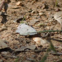 Unidentified Moth (Lepidoptera) (TBC) at WREN Reserves - 7 Nov 2020 by Kyliegw
