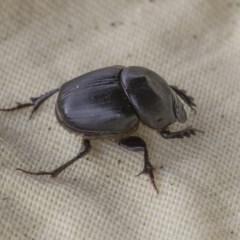 Onthophagus declivis (Declivis dung beetle) at Higgins, ACT - 6 Nov 2020 by AlisonMilton