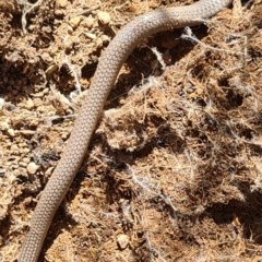 Aprasia parapulchella (Pink-tailed Worm-lizard) at Denman Prospect, ACT - 7 Nov 2020 by AaronClausen