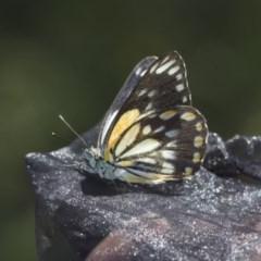 Belenois java (Caper White) at Goorooyarroo - 6 Nov 2020 by AlisonMilton