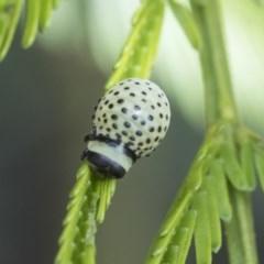 Dicranosterna immaculata (Acacia leaf beetle) at Goorooyarroo - 6 Nov 2020 by AlisonMilton