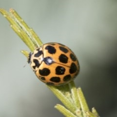 Harmonia conformis (Common Spotted Ladybird) at Goorooyarroo - 7 Nov 2020 by AlisonMilton