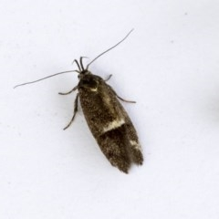 Leistomorpha brontoscopa (A concealer moth) at Higgins, ACT - 14 Oct 2020 by AlisonMilton