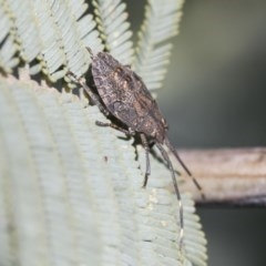 Pentatomidae (family) (Unidentified Shield or Stink bug) at Goorooyarroo - 6 Nov 2020 by AlisonMilton