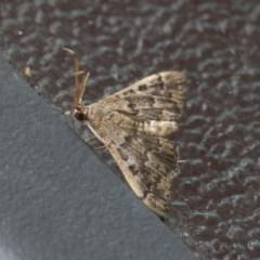 Nacoleia rhoeoalis (A Pyralid Moth) at Higgins, ACT - 6 Nov 2020 by AlisonMilton