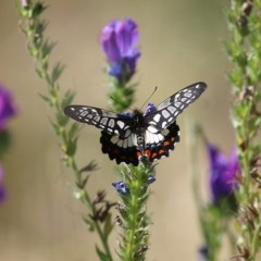 Papilio anactus (Dainty Swallowtail) at Felltimber Creek NCR - 8 Nov 2020 by Kyliegw