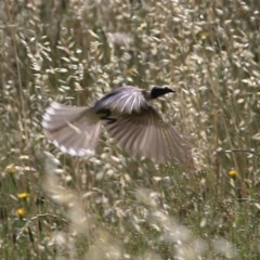 Philemon corniculatus (Noisy Friarbird) at Felltimber Creek NCR - 8 Nov 2020 by Kyliegw