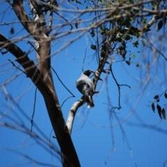 Coracina novaehollandiae (Black-faced Cuckooshrike) at Namadgi National Park - 7 Nov 2020 by mac084