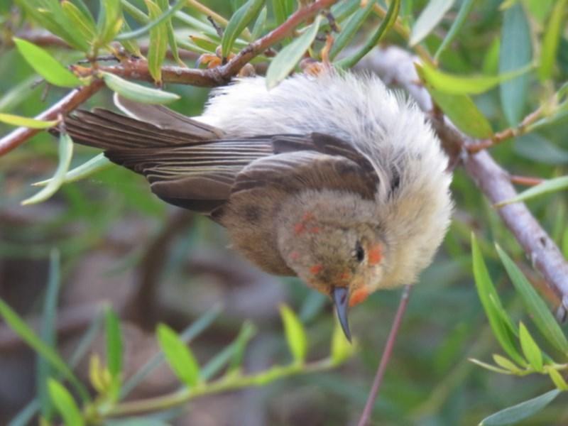 Myzomela sanguinolenta at Cullendulla Creek Nature Reserve - 2 Nov 2020