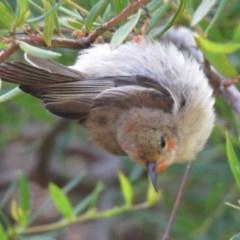 Myzomela sanguinolenta (Scarlet Honeyeater) at Cullendulla Creek Nature Reserve - 1 Nov 2020 by AlastairGreig