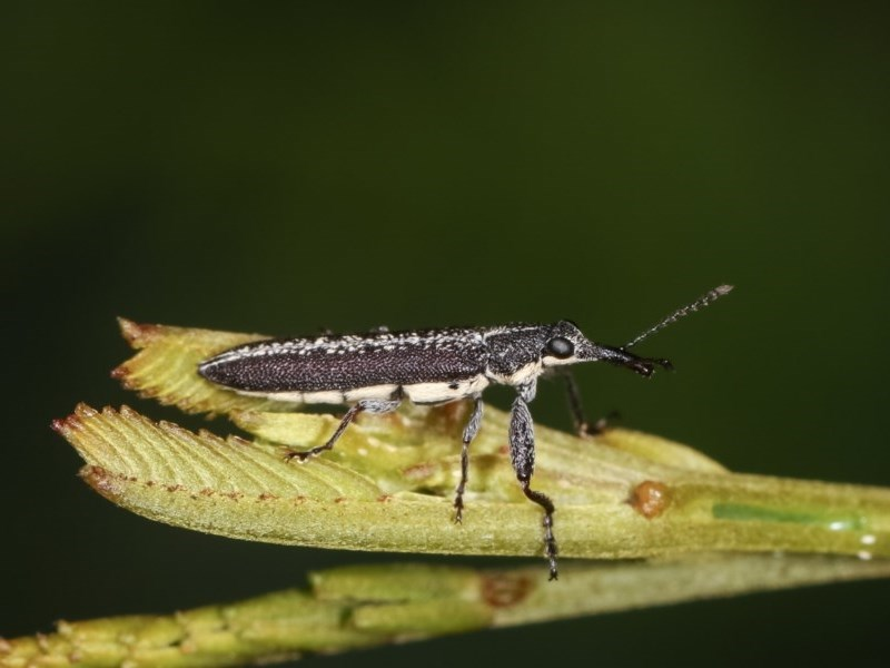 Rhinotia sp. (genus) at Goorooyarroo - 4 Nov 2020