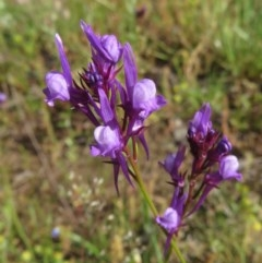 Linaria pelisseriana (Pelisser's Toadflax) at Callum Brae - 8 Nov 2020 by RobParnell