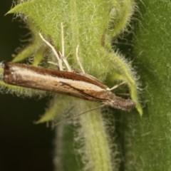 Ptochostola microphaeellus (A Crambid moth) at Goorooyarroo - 4 Nov 2020 by kasiaaus