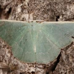 Prasinocyma semicrocea (Common Gum Emerald) at Goorooyarroo - 6 Nov 2020 by kasiaaus