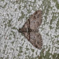 Phrissogonus laticostata (Apple looper moth) at Goorooyarroo - 6 Nov 2020 by kasiaaus