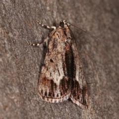 Spectrotrota fimbrialis (A Pyralid moth) at Goorooyarroo - 6 Nov 2020 by kasiaaus