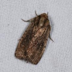 Proteuxoa provisional species 3 at Goorooyarroo - 6 Nov 2020 by kasiaaus