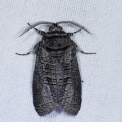 Culama suffusca (A Cossid moth) at Goorooyarroo - 6 Nov 2020 by kasiaaus