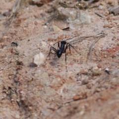 Unidentified Ant (Hymenoptera, Formicidae) (TBC) at Felltimber Creek NCR - 8 Nov 2020 by Kyliegw