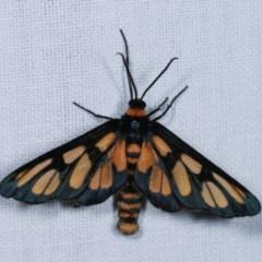 Amata (genus) (Handmaiden) at Goorooyarroo - 6 Nov 2020 by kasiaaus