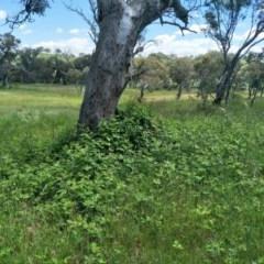 Rubus anglocandicans (Blackberry) at Kuringa Woodlands - 7 Nov 2020 by Laserchemisty