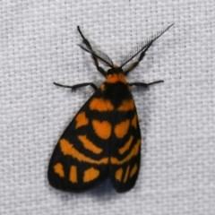 Asura lydia (Lydia Lichen Moth) at Goorooyarroo - 6 Nov 2020 by kasiaaus