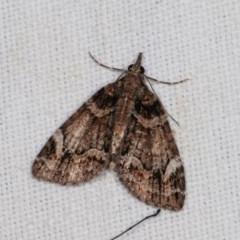Microdes undescribed species (genus) (A Geometer moth) at Goorooyarroo - 6 Nov 2020 by kasiaaus