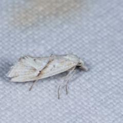Heliocosma argyroleuca (A tortrix or leafroller moth) at Goorooyarroo - 6 Nov 2020 by kasiaaus