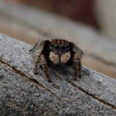 Maratus vespertilio (Bat-like peacock spider) at Fraser, ACT - 30 Oct 2020 by Laserchemisty