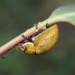 Paropsisterna variicollis (Eucalyptus variegated beetle) at Kuringa Woodlands - 4 Nov 2020 by Laserchemisty