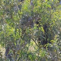 Acacia implexa (Hickory Wattle) at Wodonga - 8 Nov 2020 by Kyliegw