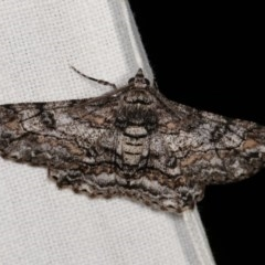 Cleora displicata (A Geometrid moth) at Goorooyarroo - 6 Nov 2020 by kasiaaus