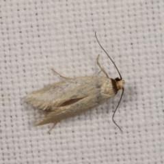 Oecophoridae (family) (Unidentified Oecophorid concealer moth) at Goorooyarroo - 6 Nov 2020 by kasiaaus
