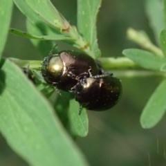 Chrysolina quadrigemina (Greater St Johns Wort beetle) at Kuringa Woodlands - 4 Nov 2020 by Laserchemisty