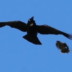 Corvus coronoides (Australian Raven) at Wodonga - 7 Nov 2020 by Kyliegw