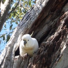 Cacatua galerita (Sulphur-crested Cockatoo) at Red Hill Nature Reserve - 7 Nov 2020 by JackyF