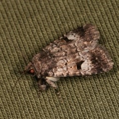 Thoracolopha verecunda (A Noctuid moth (group)) at Goorooyarroo - 6 Nov 2020 by kasiaaus