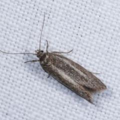 Unidentified Oecophoridae group 1 at Goorooyarroo - 6 Nov 2020 by kasiaaus
