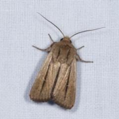 Leucania diatrecta (A Noctuid moth) at Goorooyarroo - 6 Nov 2020 by kasiaaus