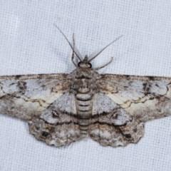 Cleora (genus) (A Looper Moth) at Goorooyarroo - 6 Nov 2020 by kasiaaus