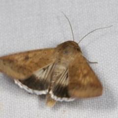 Helicoverpa punctigera (Australian bollworm, Native budworm) at Goorooyarroo - 6 Nov 2020 by kasiaaus