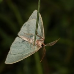 Chlorocoma (genus) (Emerald moth) at Goorooyarroo - 6 Nov 2020 by kasiaaus