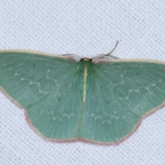 Chlorocoma dichloraria (Doubled-fringed or Guenee's Emerald) at Goorooyarroo - 6 Nov 2020 by kasiaaus