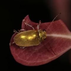 Edusella puberula (Leaf beetle) at Goorooyarroo - 6 Nov 2020 by kasiaaus
