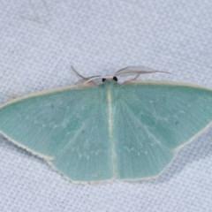 Chlorocoma melocrossa (Cream-fringed Emerald) at Goorooyarroo - 6 Nov 2020 by kasiaaus