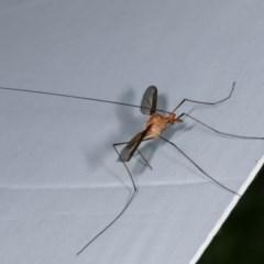 Leptotarsus (Macromastix) costalis (Common Brown Crane Fly) at Goorooyarroo - 6 Nov 2020 by kasiaaus